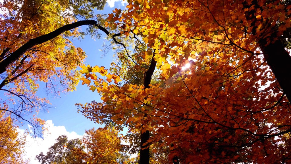 Fall Leaves in Mt. Airy Forest, Cincinnati. View toward the sky.